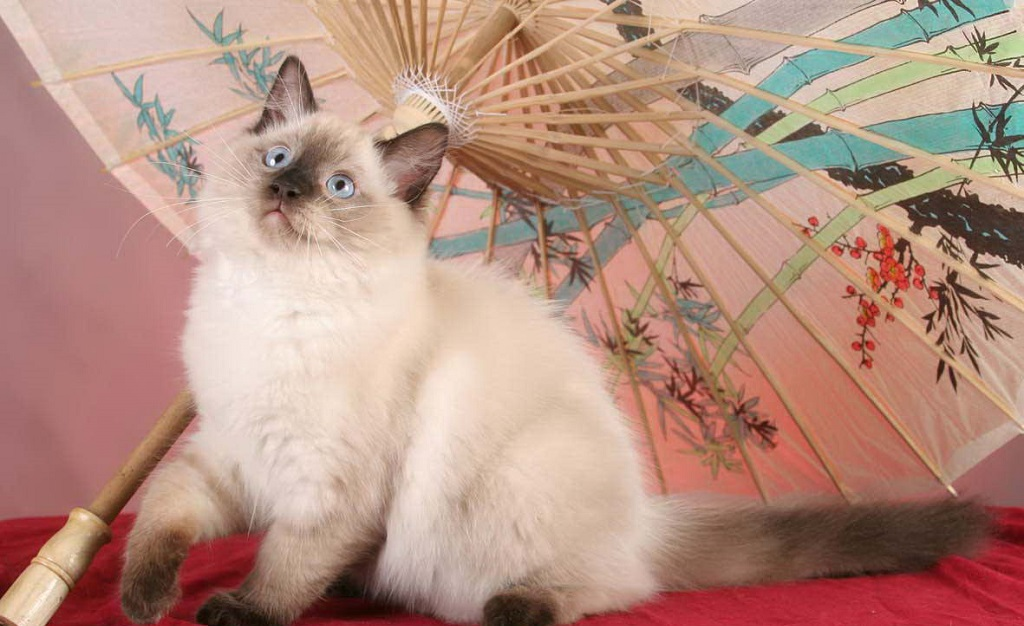 Родоначальниками породы стала ангорская белая кошка Джозефина и кот бирманского типа