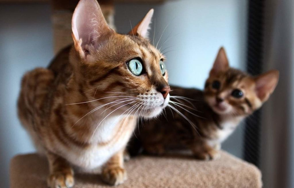 Кошки породы серенгети