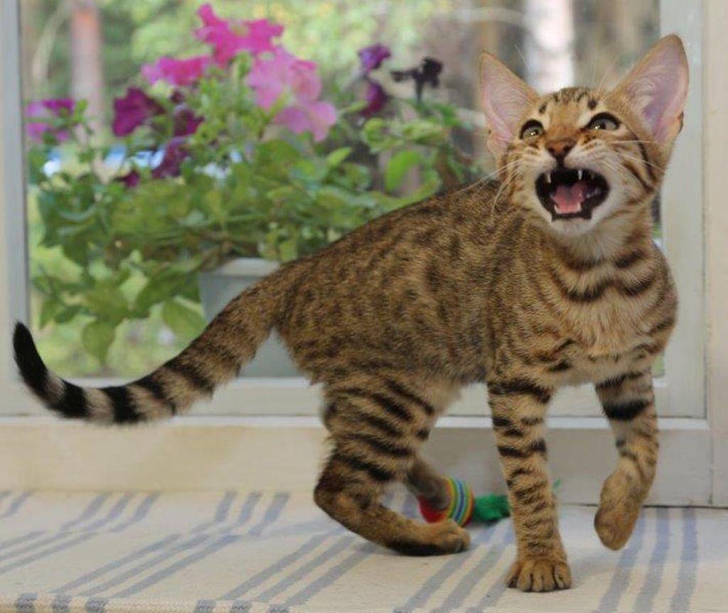 Основателями породы стали восточная короткошерстная ориентальная кошка и бенгальский кот