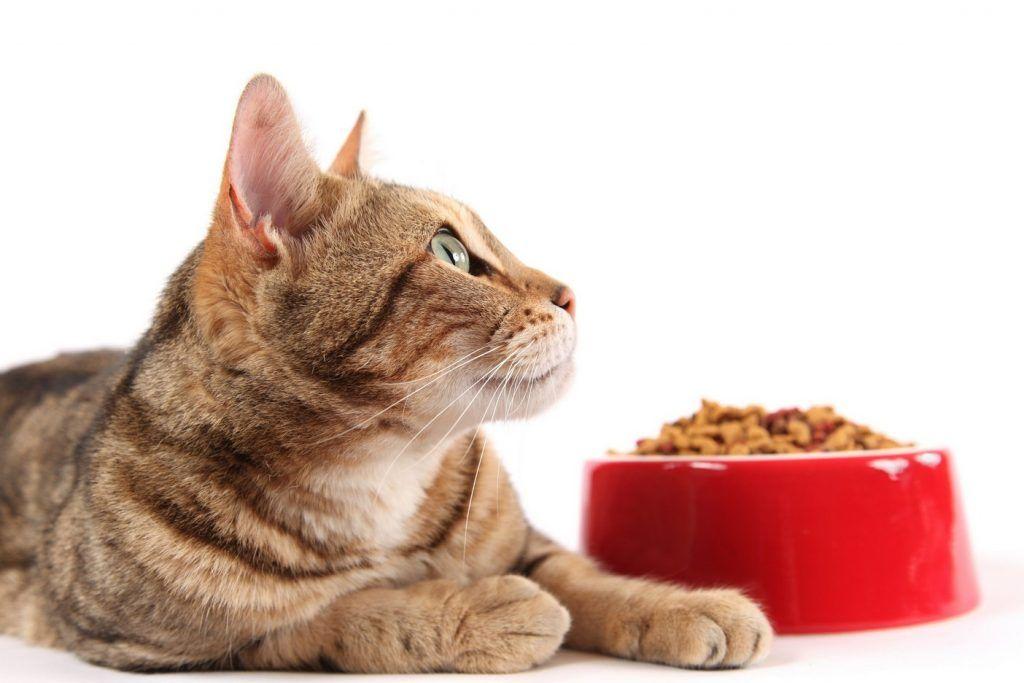 Серенгети считаются достаточно непривередливыми в еде