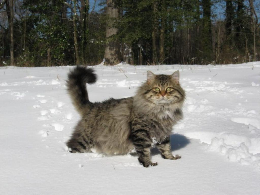 Сибирские кошки отлично чувствуют себя за городом зимой