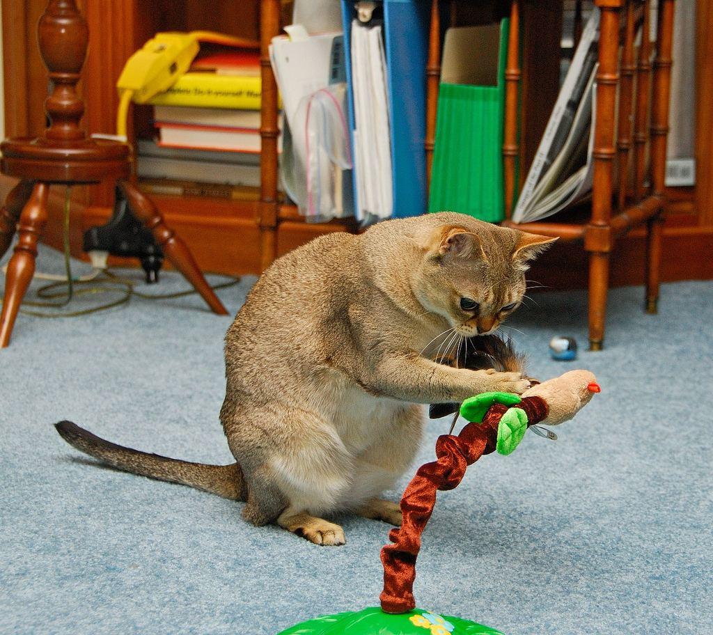 Сингапурская кошка может поиграть