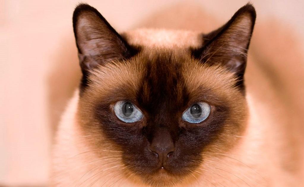 Тайская кошка издалека привлекает к себе внимание