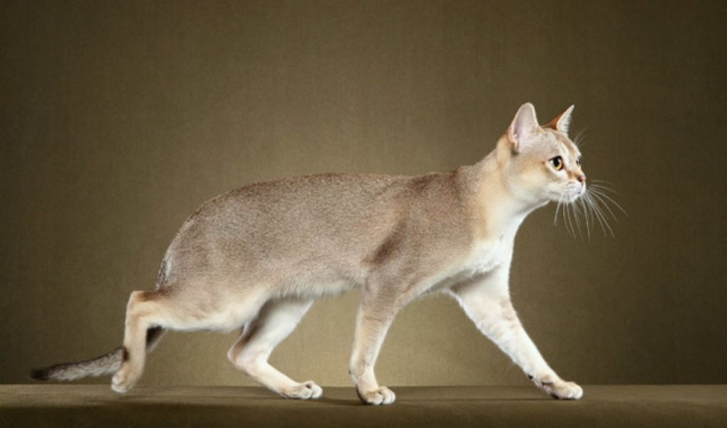 Сингапурская кошка весит максимум 3 кг