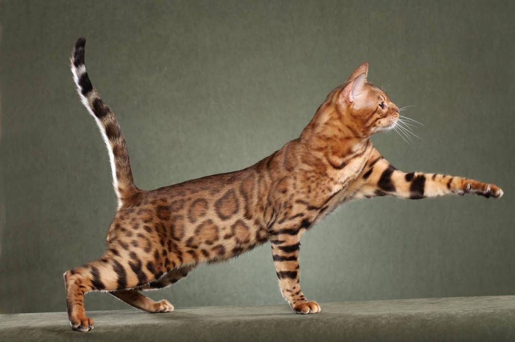 Кошка имеет атлетическое сложение и пятна, как у тигра