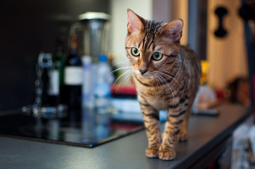 Кошки породы тойгер склонны к ожирению и их не стоит перекармливать