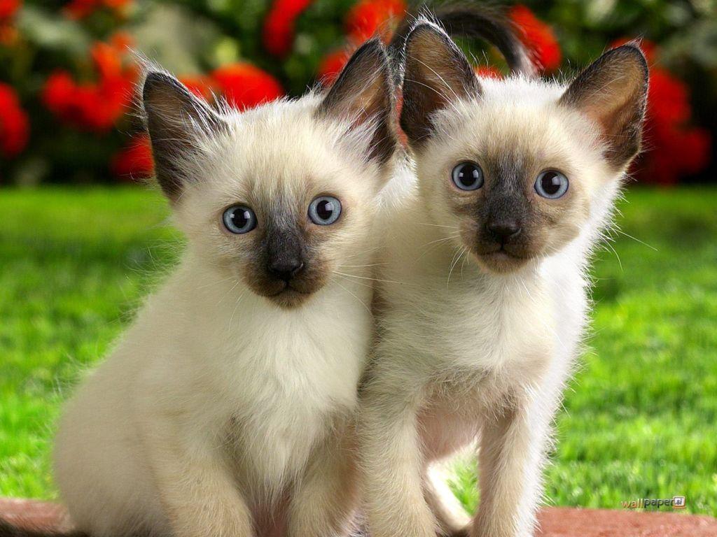 Цена на сиамских кошек