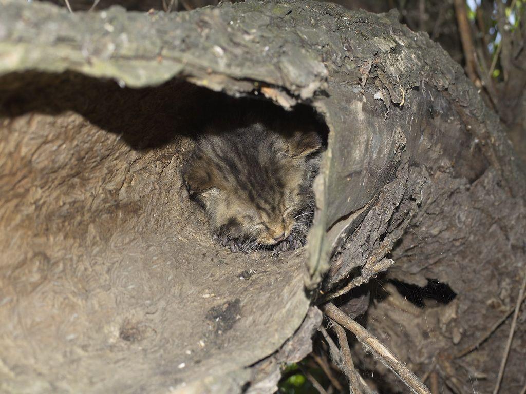 Лесные коты выбирают дупла в качестве жилища