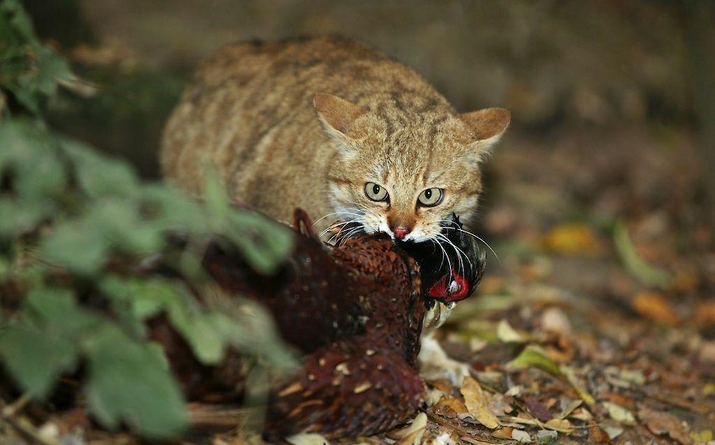 Лесные коты питаются мелкой птицей и грызунами