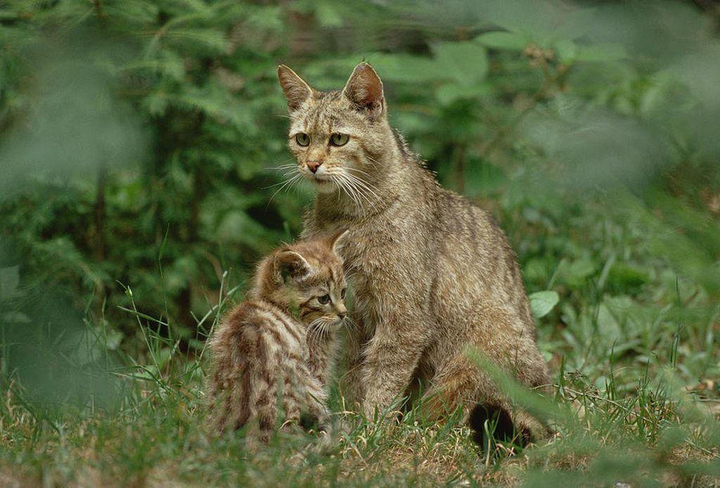 Лесные коты часто спариваются с кошками других пород