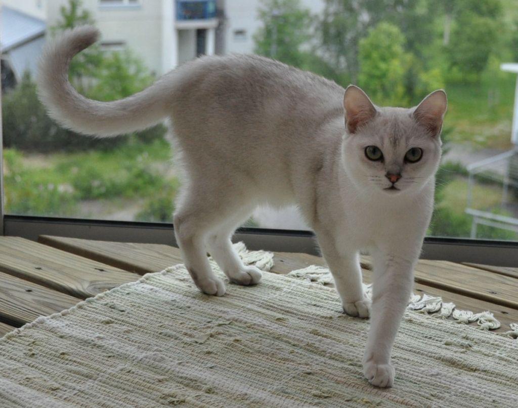 Самый распространенный окрас кошки