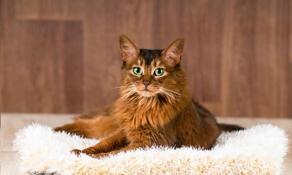 """""""Дикая"""" сомалийская кошка"""