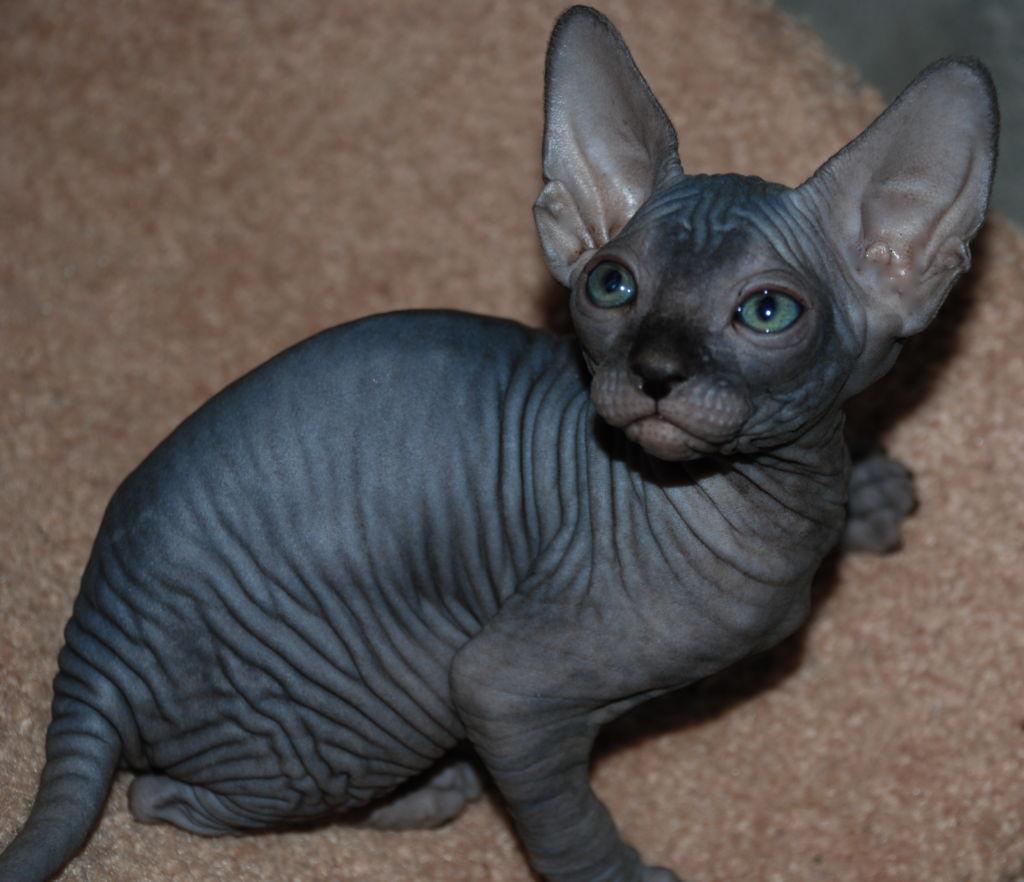 лысая кошка