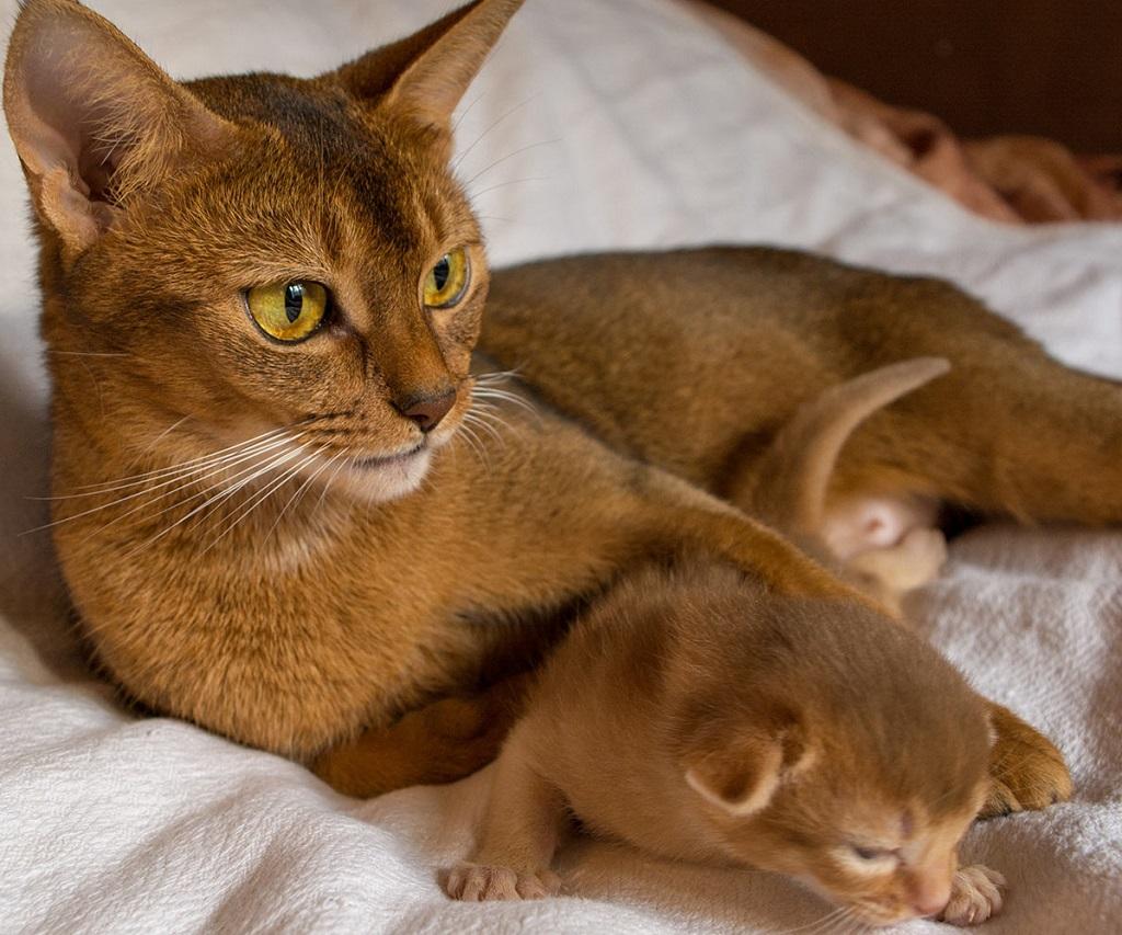 Стоимость котят начинает от 15 000 рублей