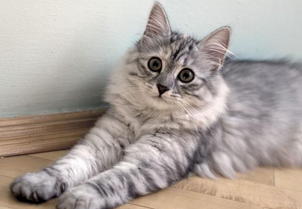 Стоимость котят начинается от 7 000 рублей