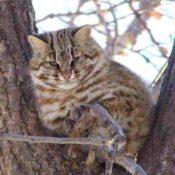 Ареал обитания, привычки и повадки дальневосточного лесного кота