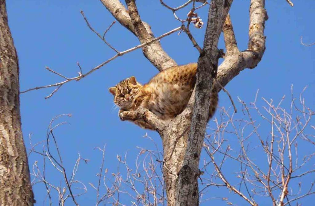 образ жизни дикого кота