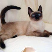 Подробное описание балинезийской породы кошек