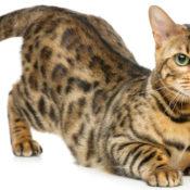 Описание, характер и темперамент бенгальской породы кошки