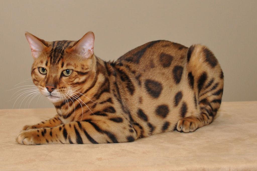 7 самых популярных пород пятнистых кошек