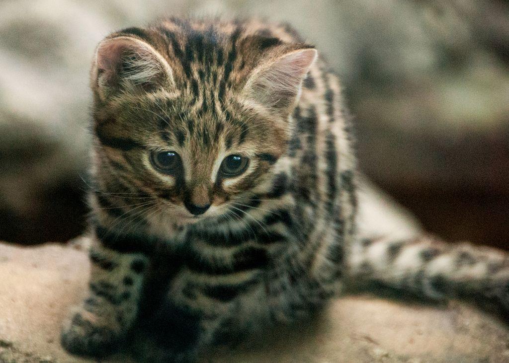 Черноногая африканская кошка считается вымирающим видом животных