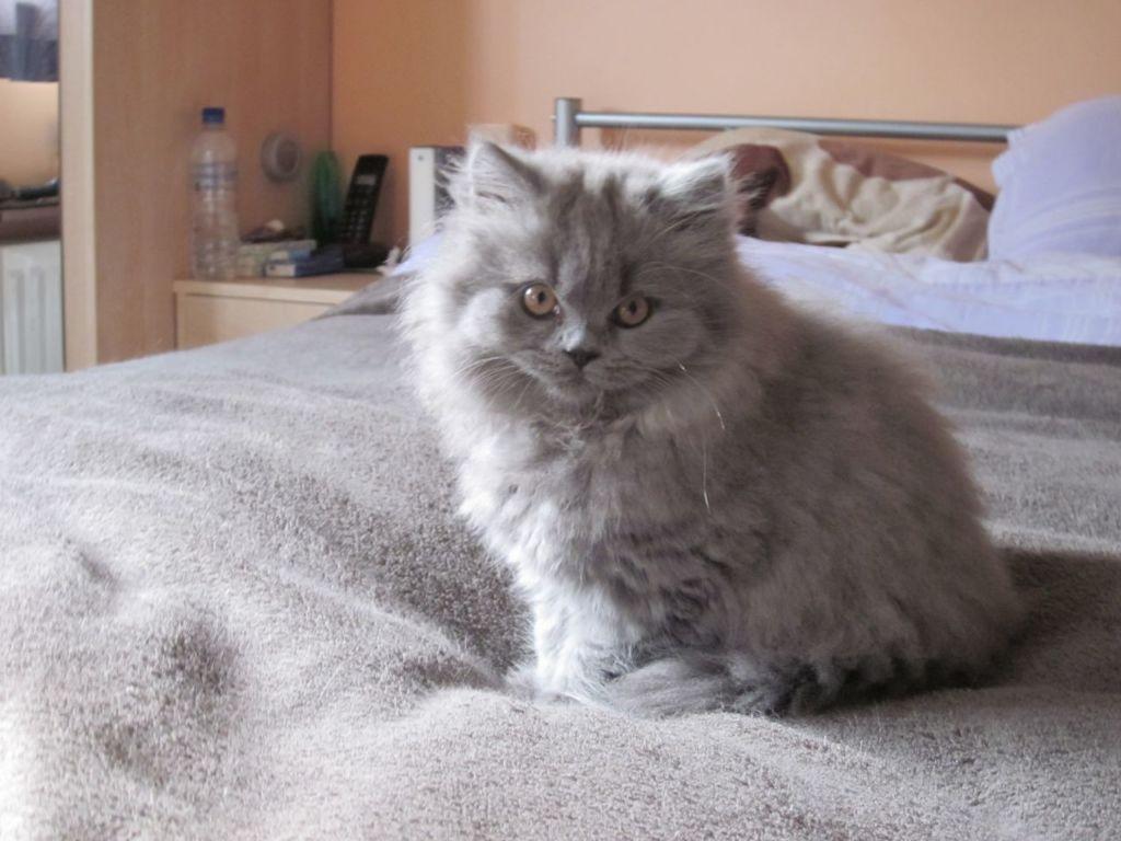 Британская длинношерстная кошка или хайлендер