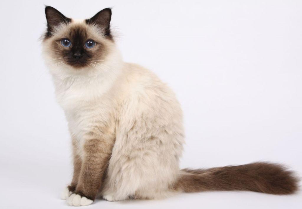 Бирмы - здоровые и редко болеющие кошки