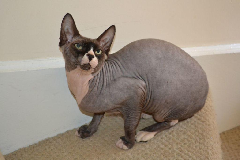 Коты склонны к перееданию