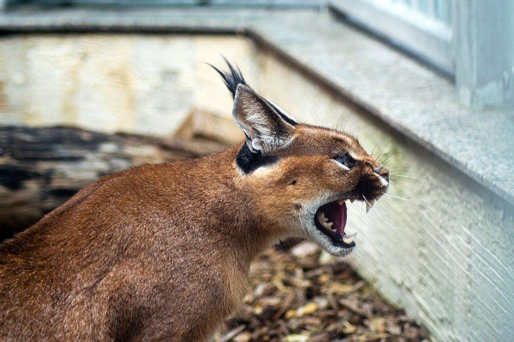 Котята, добытые контрабандой из дикой природы, могут стать опасны в будущем