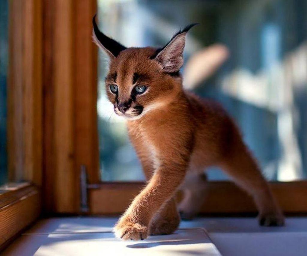 При покупке котенка обязательно должен быть в наличии документ о его родословной