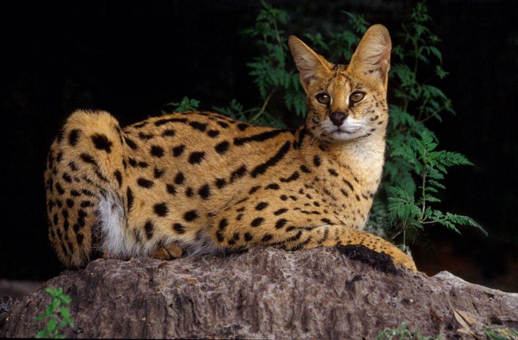 Подробное описание африканской породы кошек сервал