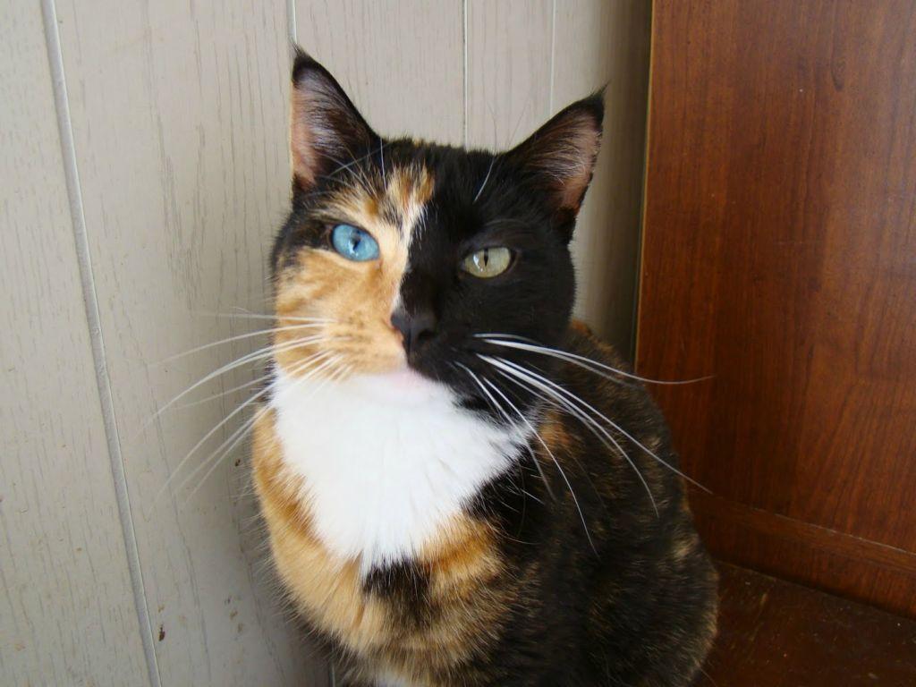 Теоретически может возникнуть у любой кошки