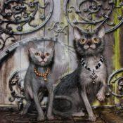 Описание новой породы кошки ликой или кота оборотня