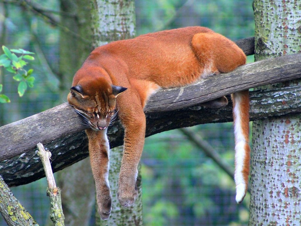 Подробное описание африканской золотой кошки