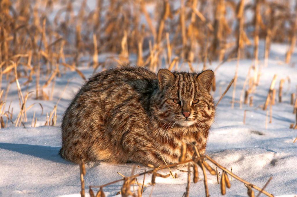 Внешний вид дальневосточного лесного кота