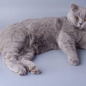 Полное описание породы британской короткошерстной кошки