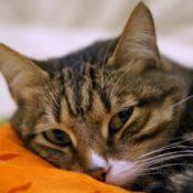 Что делать, если кастрированный кот метит после кастрации