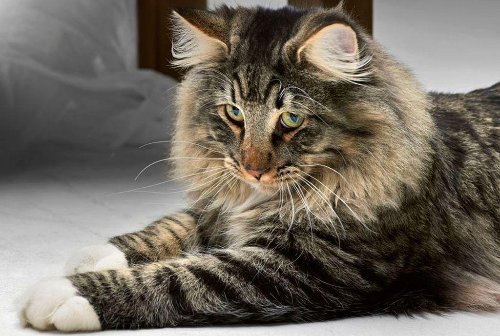 Норвежский лесной кот является долгожителем