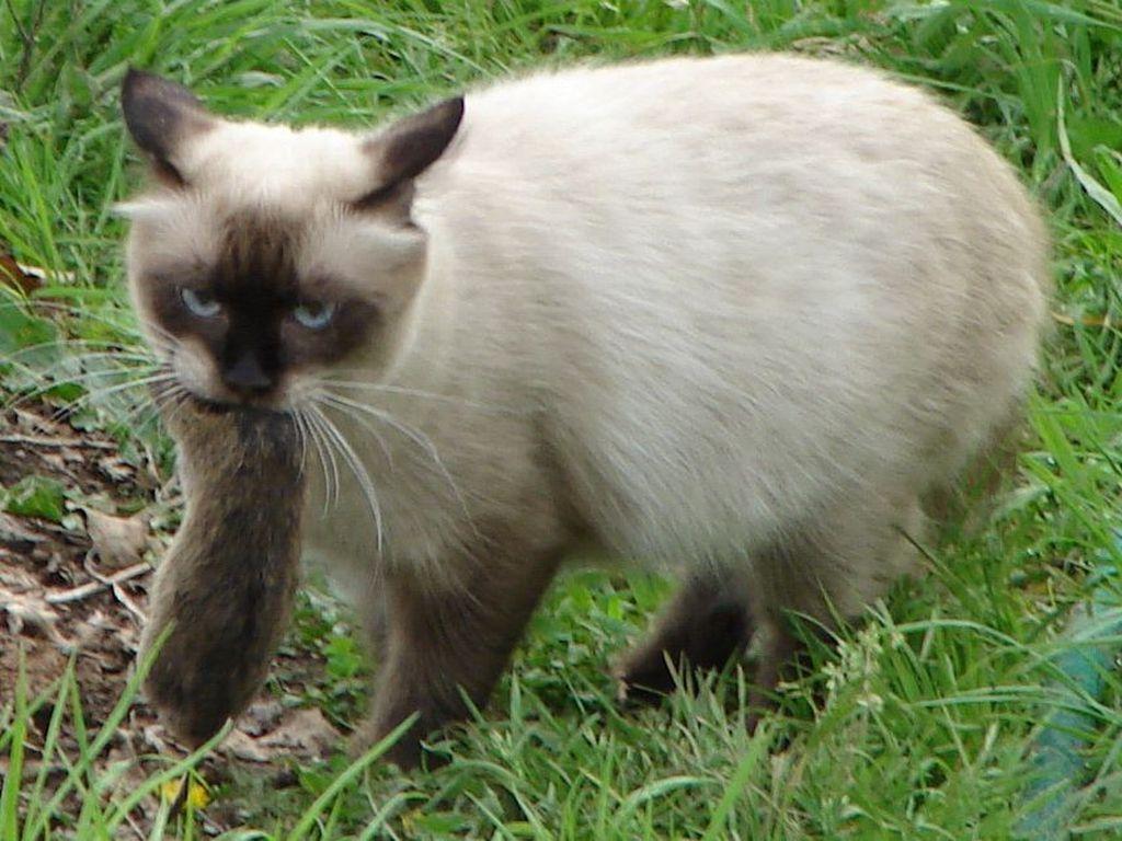 В охоте наиболее активно участвуют именно кошки, а не коты