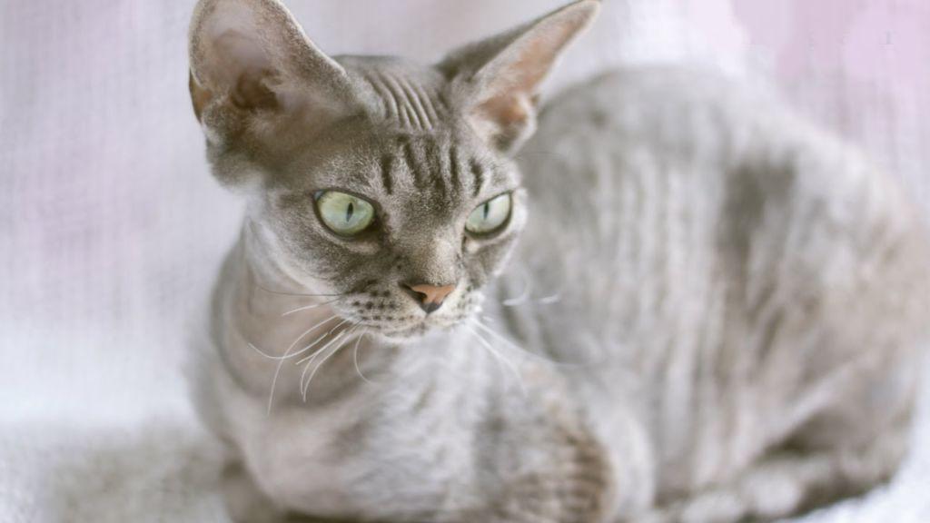 Использование фурминатора нецелесообразно у кошек тех пород, у которых нет подшерстка или шерсть имеет свои особенности