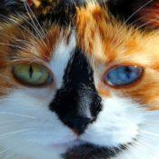 Породы кошек с разными глазами