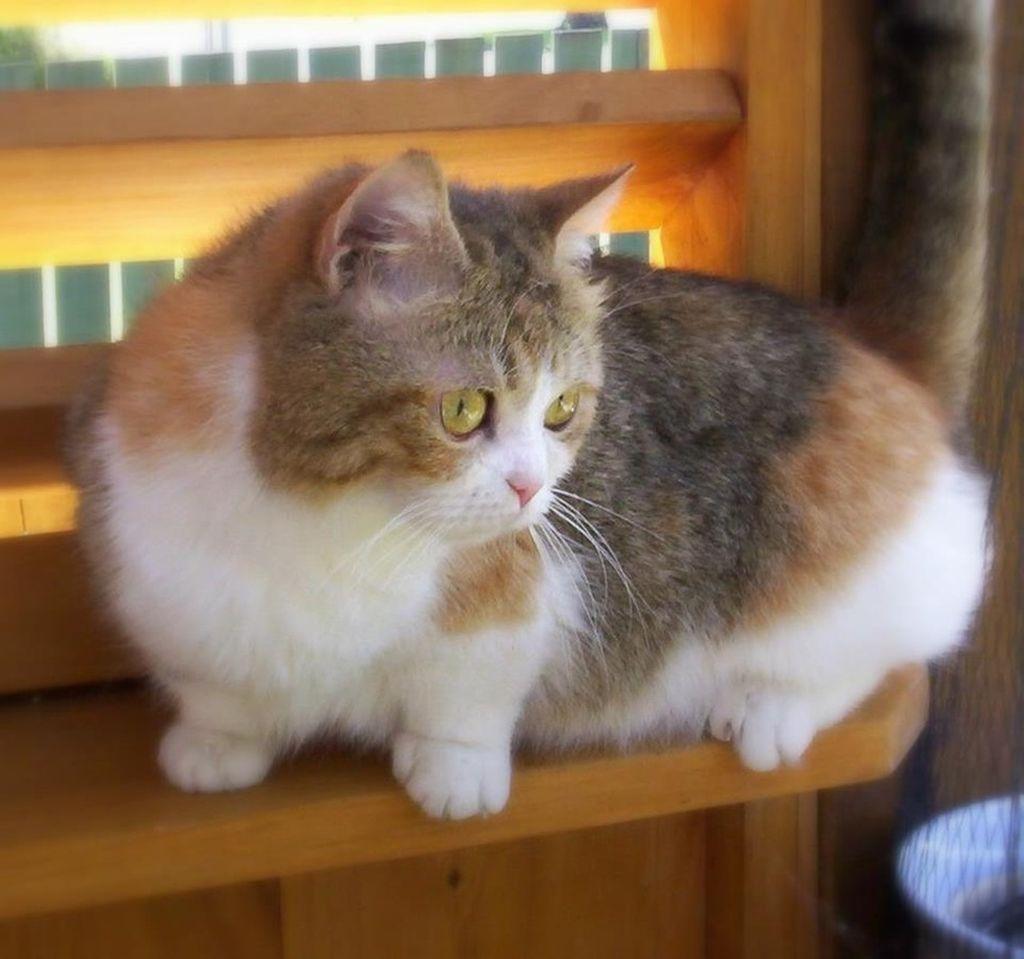 Менуэт или наполеон отличается от других кошек короткими лапами