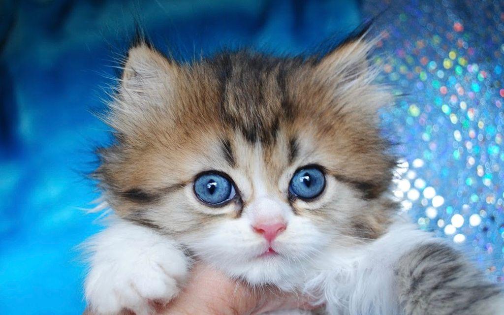 Стоимость котят наполеона около 30 000 - 70 000 рублей