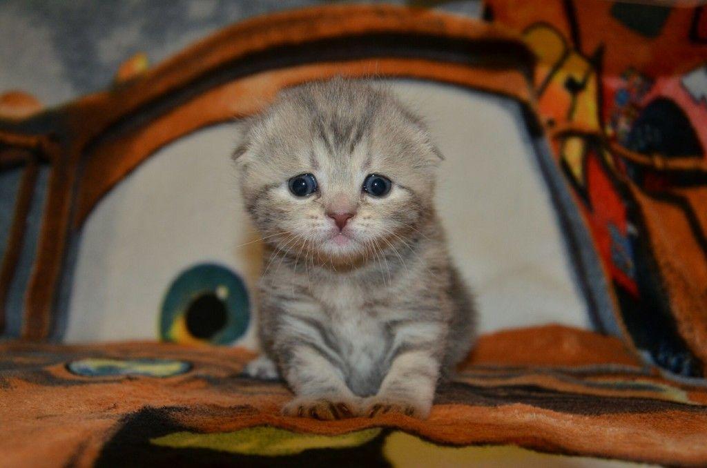 Котенок метиса шотландской вислоухой кошки