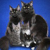10 самых популярных окрасов кошки породы мейн кун