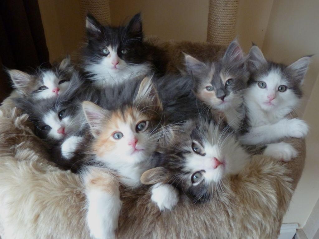 Котята норвежской кошки