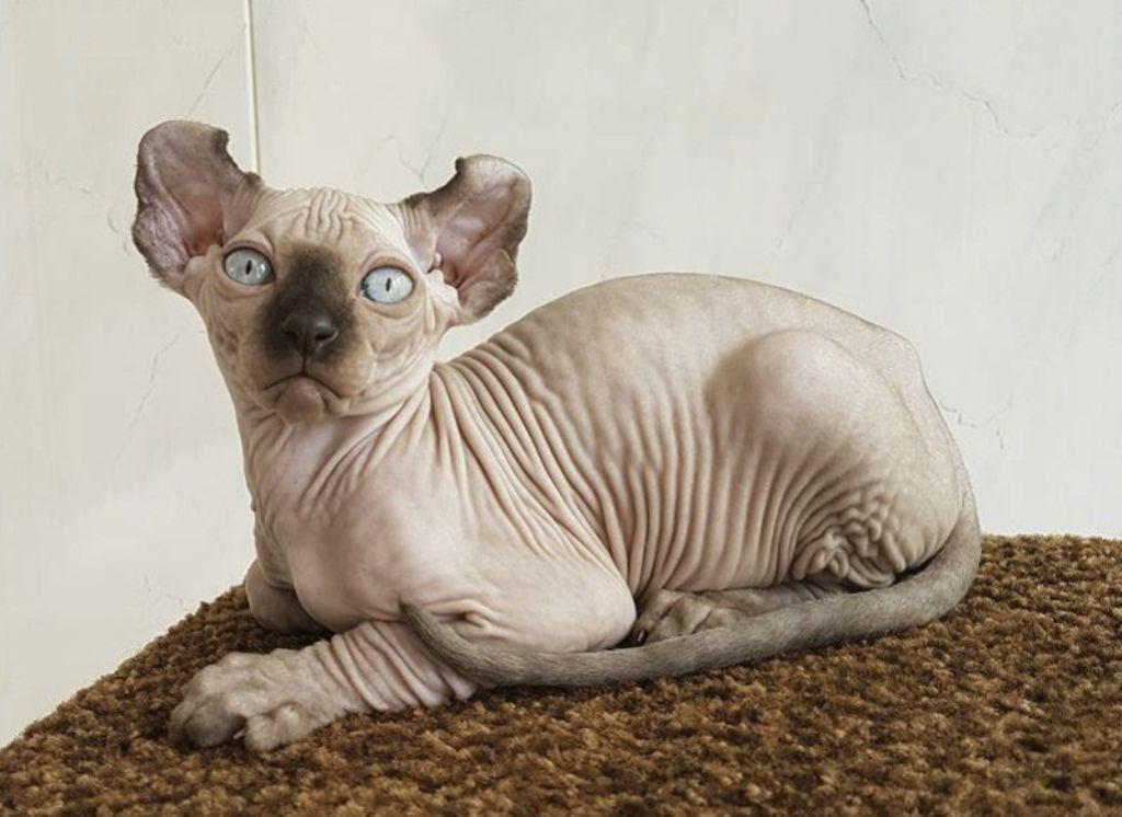 Кошки породы Эльф не терпят одиночества
