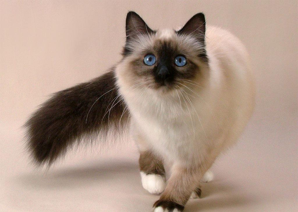 Подробное описание окраса колор-пойнт у разных пород кошек