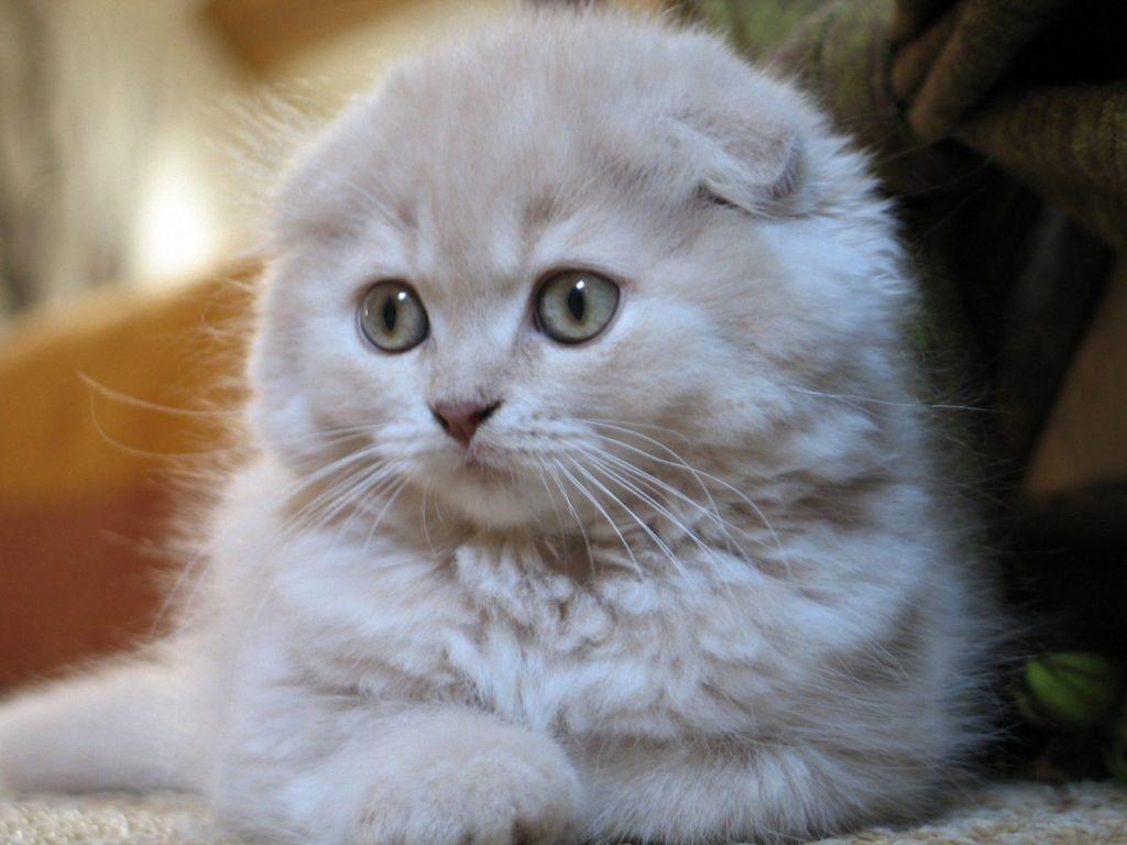 Котята из питомника стоят от 5 000 рублей