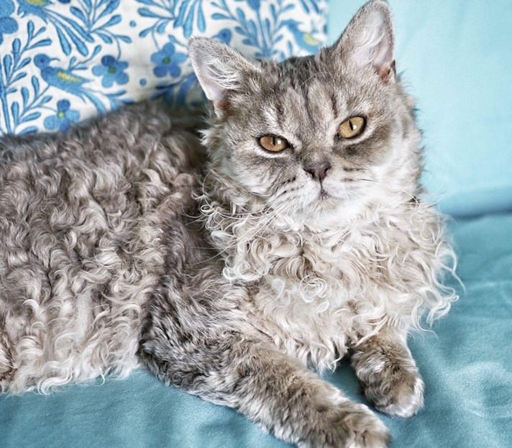 Кошка породы селкирк рекс
